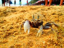 hermite de 3 crabes Photographie stock