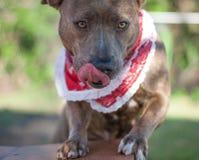 Hermoine το σκυλί καταφυγίων στοκ φωτογραφίες με δικαίωμα ελεύθερης χρήσης