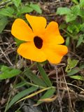 Beautiful orange flower white black dot in the middle stock photography