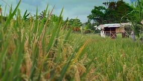 Hermosa vista de la choza de la granja en la plantación del cereal del campo del arroz en Asia con el viento que sopla las planta almacen de video
