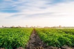 Hermosa vista de la granja rural Las plantaciones de la patata están creciendo en el campo Veh?culos org?nicos Agricultura farmin imagen de archivo