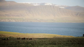 Hermosa vista de la manada de los caballos que pastan en el campo, comiendo la hierba Caballos islandeses salvajes en la naturale almacen de video