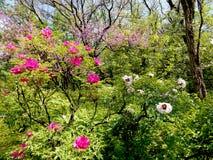 Hermosa vista de las peonías y de los árboles florecientes fotos de archivo