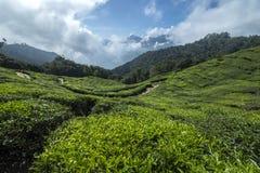 Hermosa vista de las plantaciones de té Fotos de archivo libres de regalías
