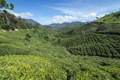 Hermosa vista de las plantaciones de té Imagen de archivo