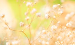 Hermosa vista de las puntillas delicadas de las flores románticas blancas puras de la respiración del bebé del Gypsophila, fondo  imagenes de archivo