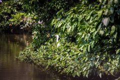 Hermosa vista de un Egretta blanco Garzetta del pájaro adulto en el árbol en una charca fotos de archivo