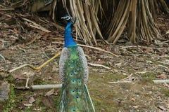 Hermosa vista de un pavo real Fotos de archivo libres de regalías