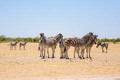 Hermosa vista de una manada de las cebras que se unen en un waterhole seco en el parque nacional de Etosha Fotografía de archivo