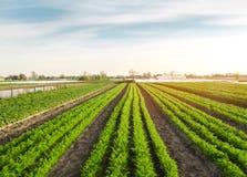 Hermosa vista de una plantación de la zanahoria que crece en un campo Veh?culos org?nicos farming Agricultura Foco selectivo imágenes de archivo libres de regalías