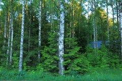 Hermosa vista del bosque con los árboles verdes en fondo del cielo azul Árbol de abeto lindo que abraza el abedul Imagenes de archivo