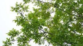 Hermosa vista del brillo ligero a través de las hojas del verano del roble en el borrachín del bosque, hojas verdes claras en el  almacen de video