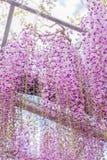 Hermosa vista del gran ?rbol rosado p?rpura del flor de la glicinia, Ashikaga, Tochigi, Jap?n imagenes de archivo