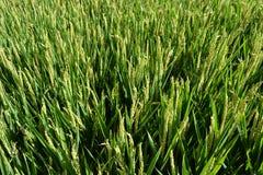 Hermosa vista para poner verde el campo del arroz en un día de verano soleado imagen de archivo libre de regalías