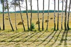 Hermosa vista a través de una pared fina de abedules jovenes delgados en el campo con cosechado Imagenes de archivo