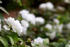 Hermoso blanco subió en el jardín Foto de archivo