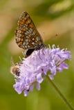 Hermoso buterfly en un trébol Imagen de archivo libre de regalías