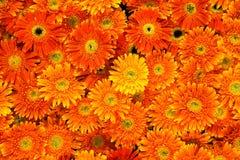 Hermoso de crisantemo anaranjado florece backgrou Fotografía de archivo libre de regalías