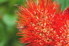 Hermoso de sauce de arbusto rojo o de la flor tailandesa del soplo de polvo Imagen de archivo