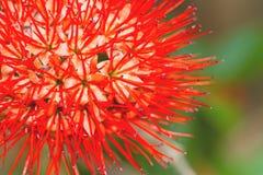 Hermoso de sauce de arbusto rojo o de la flor tailandesa del soplo de polvo Foto de archivo