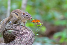 Hermoso del berdmorei de Menetes en rama y mariposa Foto de archivo