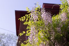 Hermoso del flor violeta de la glicinia fotos de archivo libres de regalías