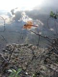 Hermoso dragonly Fotografía de archivo libre de regalías