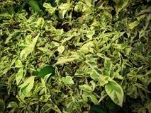 hermoso en amarillo y verde de la hoja en el religiosa Benth, variegata del wrightia fotos de archivo libres de regalías