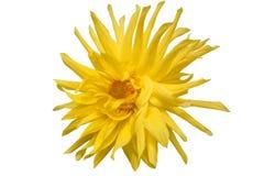 Hermoso grande de la dalia amarilla en un fondo blanco Fotos de archivo