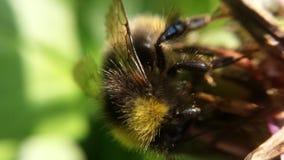 Hermoso manosee la abeja en la foto de la macro de la flor Imagen de archivo