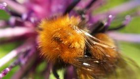 Hermoso manosee la abeja en la foto de la macro de la flor Fotos de archivo libres de regalías