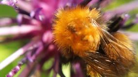 Hermoso manosee la abeja en la foto de la macro de la flor Imágenes de archivo libres de regalías