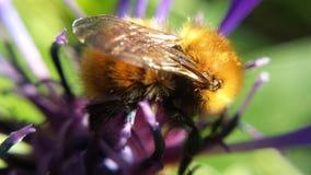 Hermoso manosee la abeja en la foto de la macro de la flor Imagenes de archivo