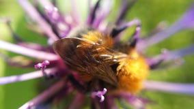 Hermoso manosee la abeja en la foto de la macro de la flor Foto de archivo