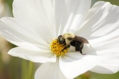 Hermoso manosee la abeja que festeja en un cosmos Fotografía de archivo libre de regalías