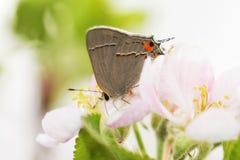 Hermoso, minúsculo, mariposa de Gray Hairstreak que poliniza un flor de la manzana fotos de archivo
