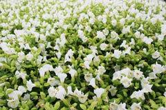 Hermoso muchos colores blancos de pequeñas flores en el jardín al aire libre para el fondo Foto de archivo libre de regalías