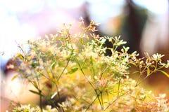 Hermoso olvídeme no los flores Fotografía de archivo