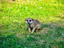 Hermoso poco meerkat en la observación de la hierba fotos de archivo libres de regalías