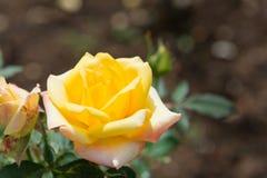 Hermoso subió en jardín Fotos de archivo