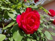 Hermoso subió en jardín Foto de archivo