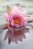 Hermoso waterlily Fotos de archivo
