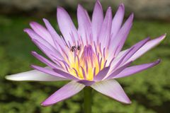Hermoso waterlily en el agua, flor de Lotus con la abeja Foto de archivo