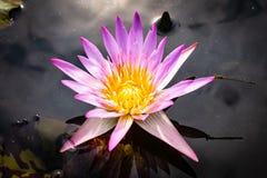 Hermoso waterlily o flor de loto fotografía de archivo