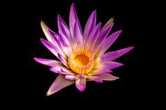 Hermoso waterlily o flor de loto imagen de archivo