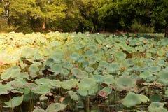 Hermoso waterlily o flor de loto foto de archivo