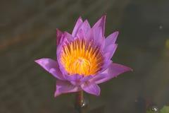 Hermoso waterlily o flor de loto imagen de archivo libre de regalías