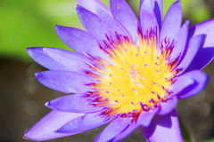 Hermoso waterlily o flor de loto Imagenes de archivo