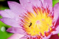 Hermoso waterlily o flor de loto Foto de archivo libre de regalías