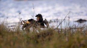 4 hermosos belicosos Lucha de los acerinos en pantano Foto de archivo libre de regalías